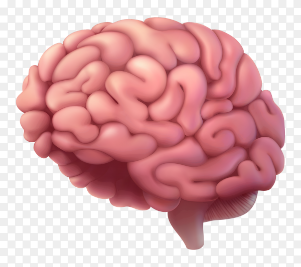 Brain isolated on transparent background PNG