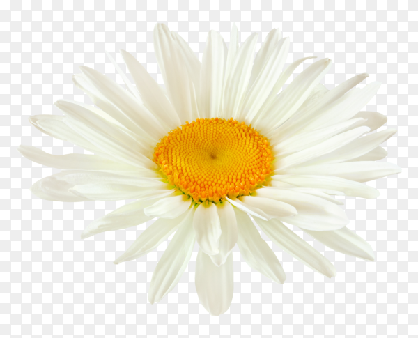 Bud daisy flower with white petals  on transparent background PNG