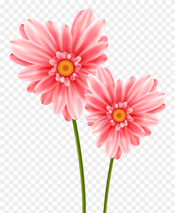 Beautiful pink flower on transparent PNG