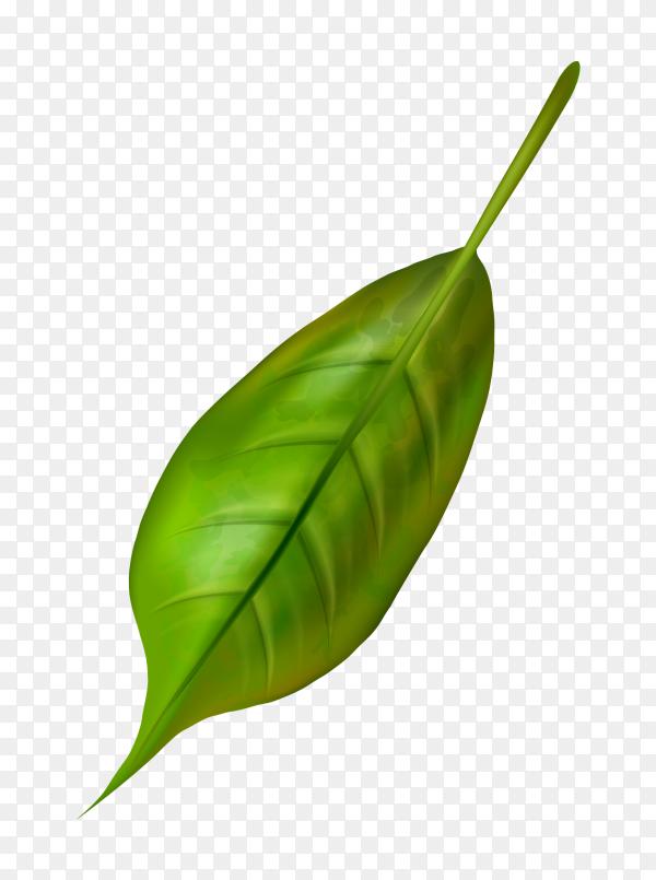 Green olive leaf on transparent background PNG