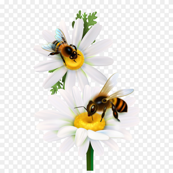 Honey bees sitting on daisy flowers on transparent background PNG