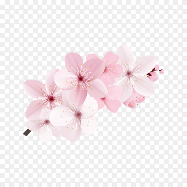 Dark and light pink sakura flower isolated on transparent background PNG