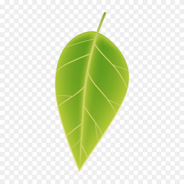 Realistic Green leaf on transparent background PNG