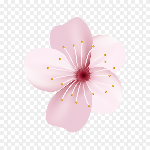 Realistic sakura or cherry blossom on transparent background PNG