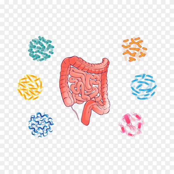 Good bacterial flora human colon illustration on transparent background PNG