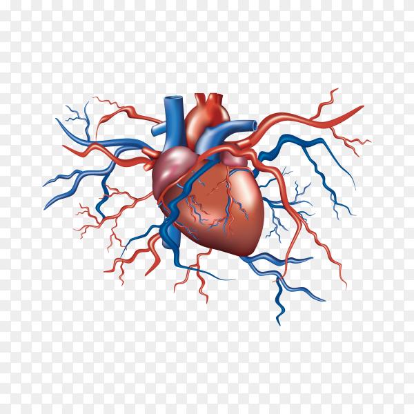 Human heart anatomy illustration on transparent background PNG