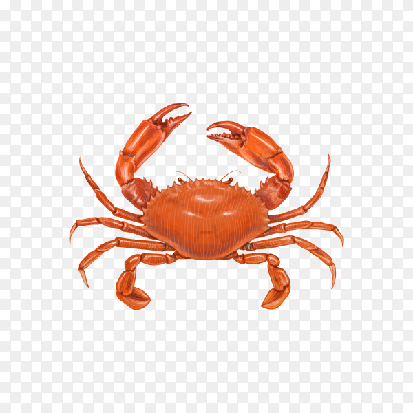 Crab isolated . Fresh seafood on transparent background PNG