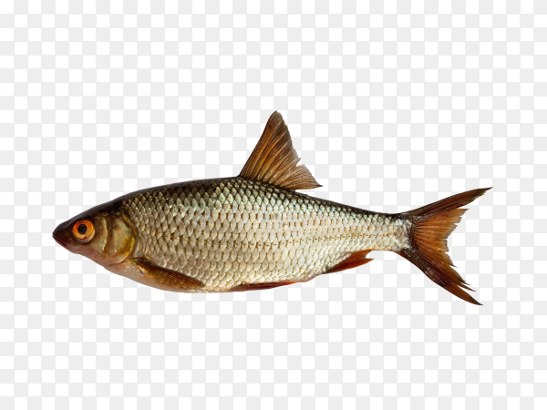 Fish isolated on transparent background PNG