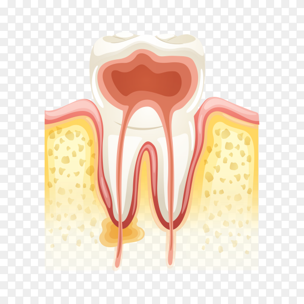 Human tooth anatomy on transparent background PNG