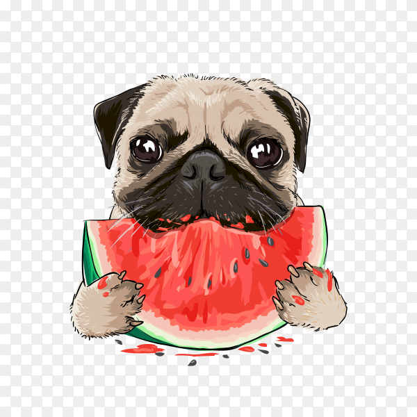 funny funny pug dog eating watermelon on transparent background PNG
